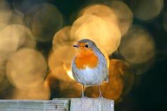 Pássaro do pisco de peito vermelho em uma cerca com círculos obscuros ensolarados do fundo fotografia de stock royalty free