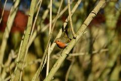 Pássaro do pisco de peito vermelho no alimentador Imagem de Stock Royalty Free