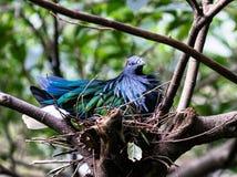 Pássaro do pombo de Nicobar em um ninho imagens de stock