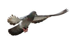 Pássaro do pombo do voo imagem de stock royalty free