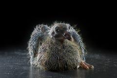 pássaro do pombo dos bebês 11days que encontra-se no fundo preto Fotos de Stock