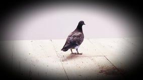 Pássaro do pombo no metro foto de stock royalty free