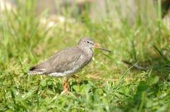 Pássaro do Redshank Imagem de Stock