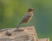 Pássaro do Rocha-bate-papo de Brown imagens de stock