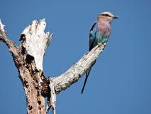 Pássaro do rolo de Breasted do Lilac Imagem de Stock