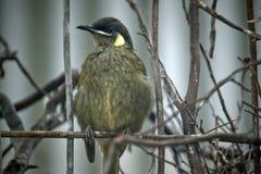 Pássaro do ` s Honeyeater de Lewin Fotos de Stock
