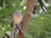 Pássaro do sono Imagem de Stock Royalty Free
