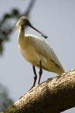 Pássaro do Spoonbill Fotografia de Stock