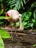 Pássaro do Spoonbill no log fotografia de stock