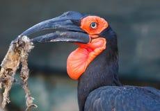 Pássaro do sul do Grond-Hornbill Imagens de Stock Royalty Free