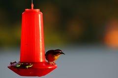 Pássaro do Tanager em um alimentador Fotografia de Stock Royalty Free