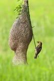 Pássaro do tecelão Imagens de Stock