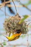 Pássaro do tecelão que constrói um ninho Imagem de Stock Royalty Free