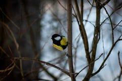 Pássaro do Titmouse Fotos de Stock