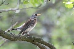 Pássaro do tordo-zorzal em um fim do ramo acima, caçando o pássaro Imagem de Stock
