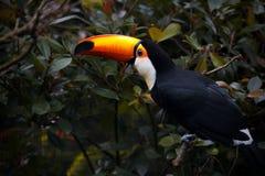 Pássaro do tucano na natureza Pássaro exótico no parque Fotografia de Stock Royalty Free