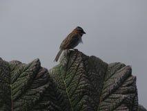 Pássaro do vulcão de Irazu Fotos de Stock Royalty Free