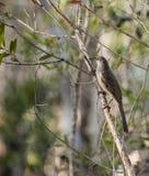 Pássaro do Wattle em um ramo Imagens de Stock Royalty Free
