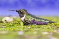 Pássaro do zumbido Foto de Stock