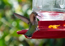 Pássaro do zumbido Fotografia de Stock Royalty Free