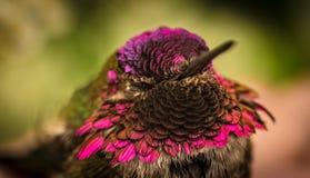 Pássaro do zumbido com cores cor-de-rosa bonitas Imagens de Stock Royalty Free