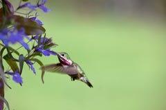 Pássaro do zumbido com flores Fotografia de Stock Royalty Free