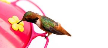 Pássaro do zumbido em um alimentador com um fundo branco fotos de stock royalty free