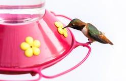 Pássaro do zumbido em um alimentador com um fundo branco foto de stock