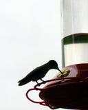 Pássaro do zumbido mostrado em silhueta na vara Imagens de Stock