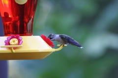 Pássaro do zumbido no alimentador imagem de stock royalty free