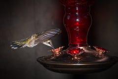 Pássaro do zumbido no alimentador Fotografia de Stock Royalty Free