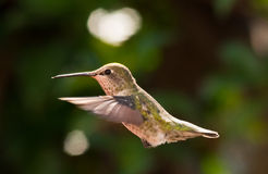 Pássaro do zumbido no meio do ar Foto de Stock Royalty Free