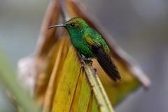 Pássaro do zumbido no parque nacional de Monteverde Imagem de Stock