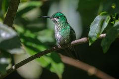 Pássaro do zumbido no parque nacional de Monteverde Fotos de Stock Royalty Free