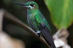 Pássaro do zumbido no parque nacional de Monteverde Fotos de Stock
