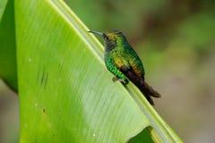 Pássaro do zumbido no parque nacional de Monteverde Fotografia de Stock Royalty Free