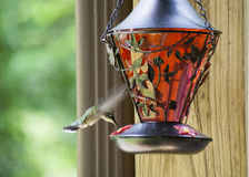 Pássaro do zumbido que alimenta 4 Fotografia de Stock Royalty Free