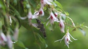 Pássaro do zumbido que bebe de uma flor fúcsia cor-de-rosa e branca foto de stock