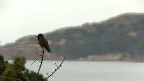 Pássaro do zumbido que senta-se no ramo com a baía no fundo filme