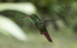Pássaro do zumbido suspendido no mid-air Fotografia de Stock