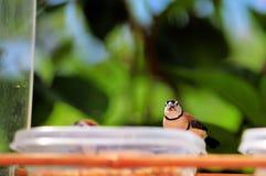 pássaro Dobro-barrado do passarinho empoleirado na bacia Imagem de Stock Royalty Free