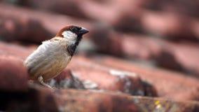 Pássaro doméstico em um telhado imagem de stock