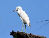 Pássaro dos animais selvagens Foto de Stock