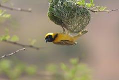 Pássaro dos animais selvagens em gambia Fotografia de Stock