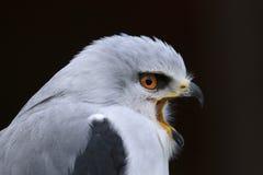 Pássaro dos axillaris do Elanus do papagaio de rapina empurrado preto fotografia de stock