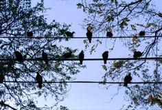Pássaro dos pombos que senta-se no cabo bonde fotos de stock royalty free