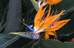 Pássaro dos reginae do Strelitzia, o alaranjado e o azul da flor de paraíso fotos de stock