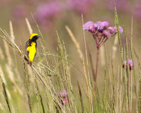 Pássaro dourado do Bishop imagens de stock royalty free