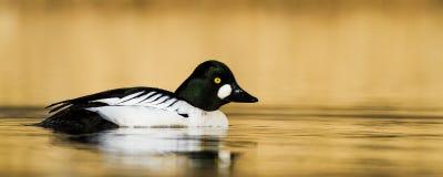 Pássaro dourado do olho na água Imagem de Stock Royalty Free