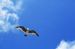 Pássaro durante o voo Imagens de Stock Royalty Free
